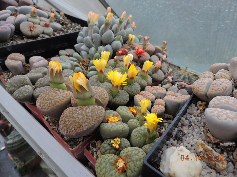 Cacti and Sukkulent in Köln, every day new flowers in the greenhouse Part 151 Bild_308