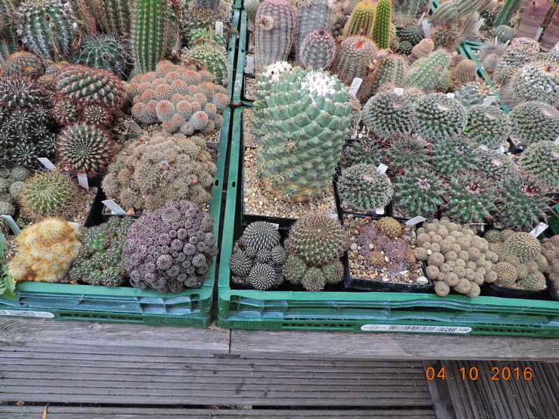 Cacti and Sukkulent in Köln, every day new flowers in the greenhouse Part 151 Bild_316