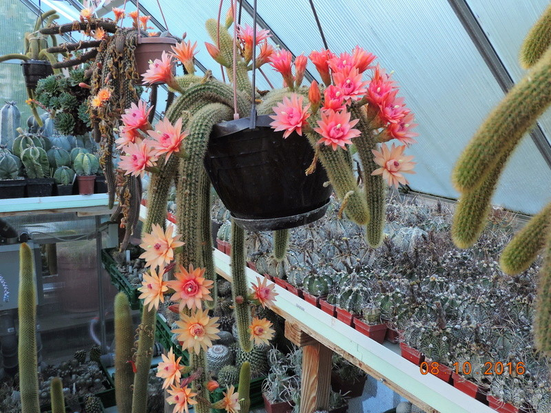 Cacti and Sukkulent in Köln, every day new flowers in the greenhouse Part 152 Bild_320