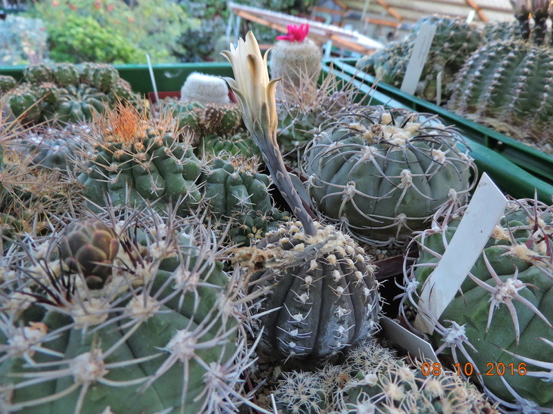 Cacti and Sukkulent in Köln, every day new flowers in the greenhouse Part 152 Bild_321