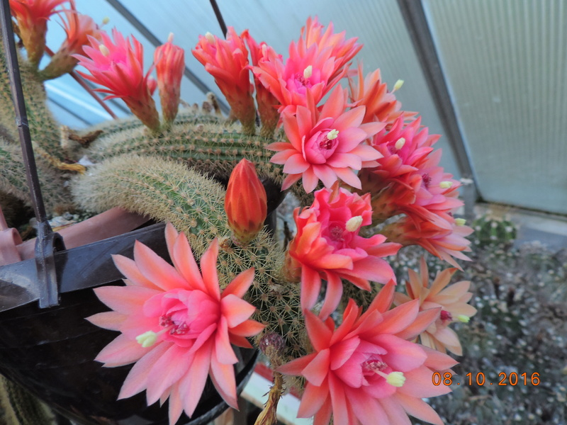 Cacti and Sukkulent in Köln, every day new flowers in the greenhouse Part 152 Bild_322