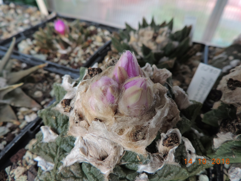 Cacti and Sukkulent in Köln, every day new flowers in the greenhouse Part 152 Bild_334