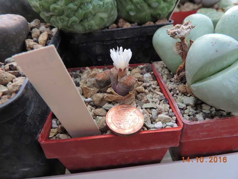 Cacti and Sukkulent in Köln, every day new flowers in the greenhouse Part 152 Bild_341