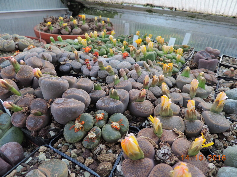 Cacti and Sukkulent in Köln, every day new flowers in the greenhouse Part 152 Bild_345