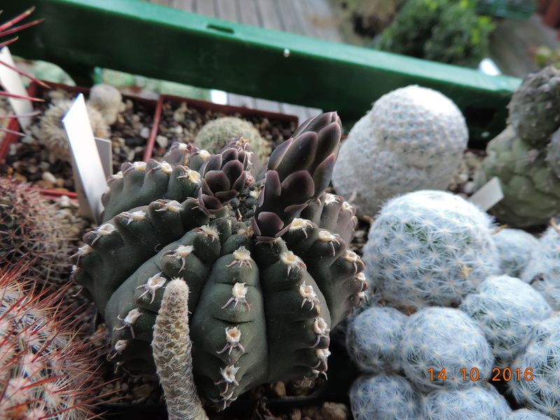 Cacti and Sukkulent in Köln, every day new flowers in the greenhouse Part 152 Bild_346