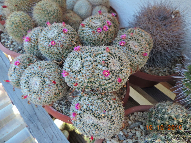 Cacti and Sukkulent in Köln, every day new flowers in the greenhouse Part 152 Bild_353
