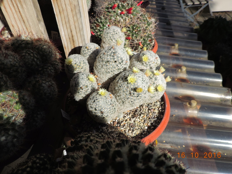 Cacti and Sukkulent in Köln, every day new flowers in the greenhouse Part 152 Bild_354