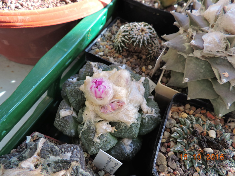 Cacti and Sukkulent in Köln, every day new flowers in the greenhouse Part 152 Bild_361