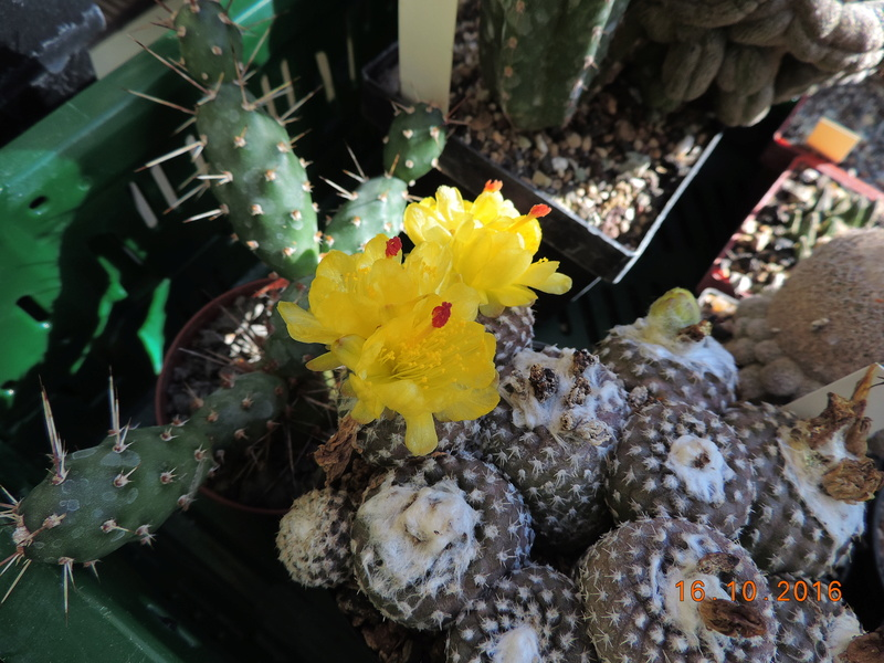 Cacti and Sukkulent in Köln, every day new flowers in the greenhouse Part 152 Bild_362