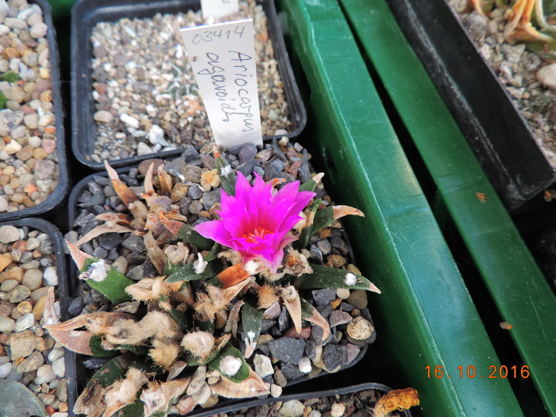 Cacti and Sukkulent in Köln, every day new flowers in the greenhouse Part 152 Bild_367