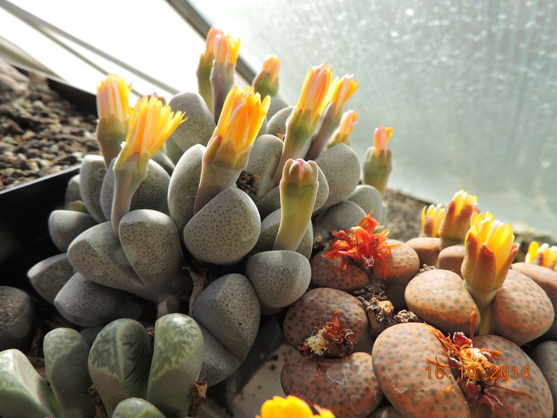 Cacti and Sukkulent in Köln, every day new flowers in the greenhouse Part 152 Bild_372