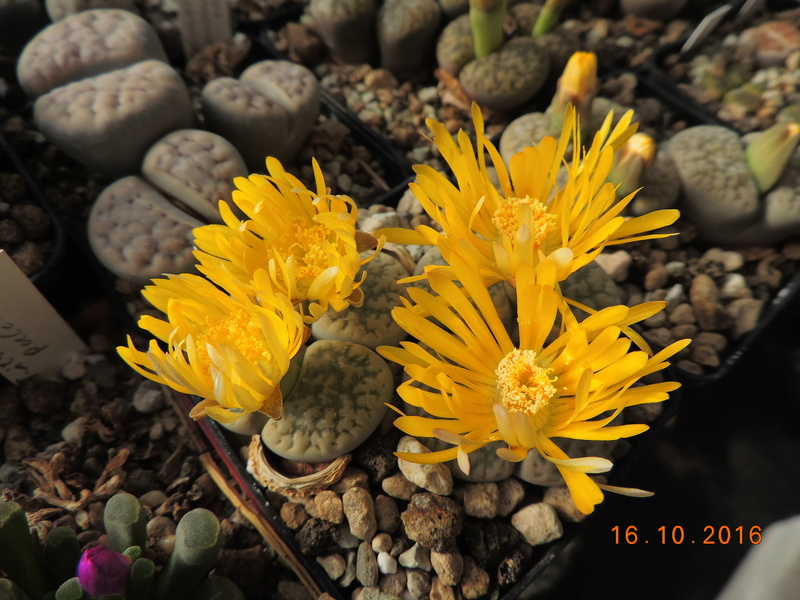 Cacti and Sukkulent in Köln, every day new flowers in the greenhouse Part 152 Bild_373