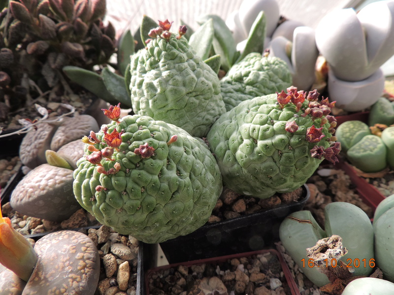 Cacti and Sukkulent in Köln, every day new flowers in the greenhouse Part 152 Bild_376