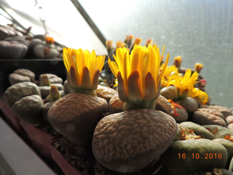 Cacti and Sukkulent in Köln, every day new flowers in the greenhouse Part 152 Bild_377