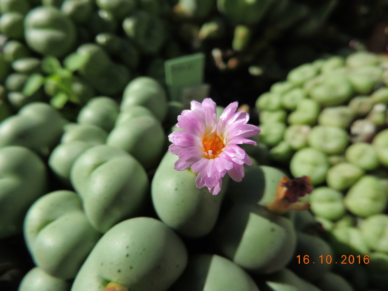 Cacti and Sukkulent in Köln, every day new flowers in the greenhouse Part 152 Bild_380