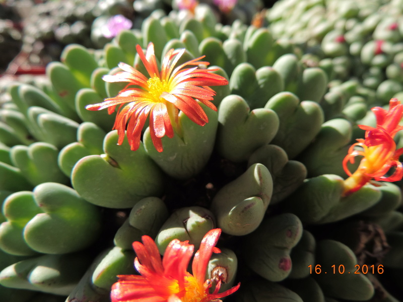Cacti and Sukkulent in Köln, every day new flowers in the greenhouse Part 152 Bild_381