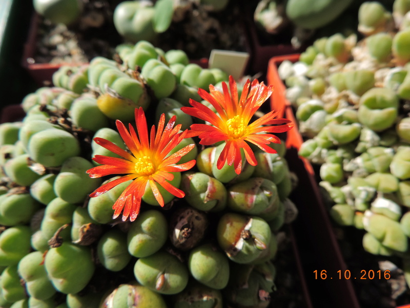 Cacti and Sukkulent in Köln, every day new flowers in the greenhouse Part 152 Bild_387