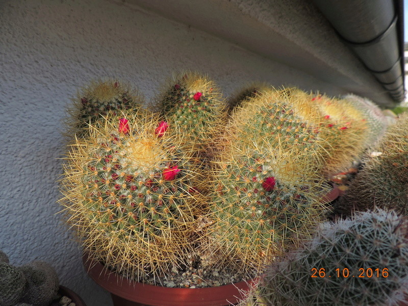 Cacti and Sukkulent in Köln, every day new flowers in the greenhouse Part 152 Bild_403