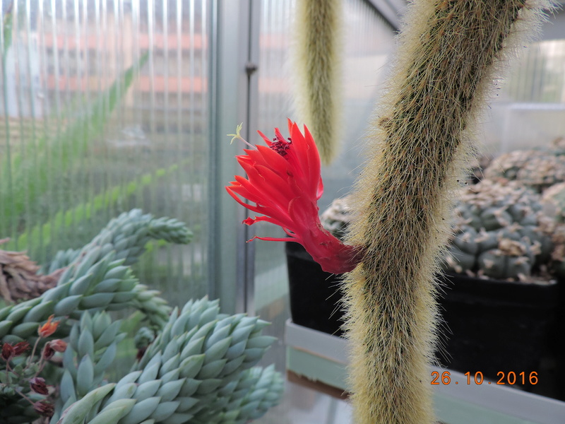 Cacti and Sukkulent in Köln, every day new flowers in the greenhouse Part 152 Bild_412