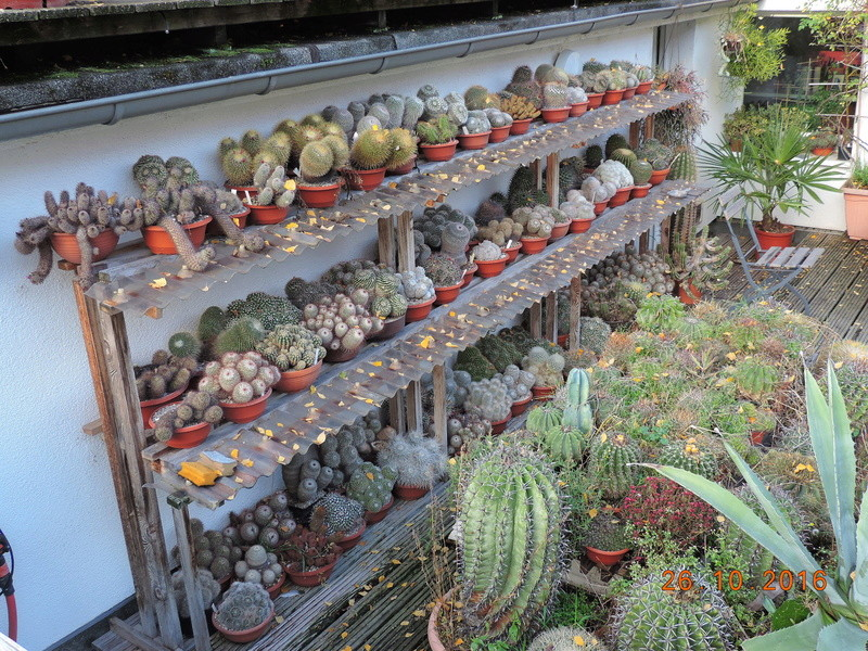 Cacti and Sukkulent in Köln, every day new flowers in the greenhouse Part 152 Bild_415