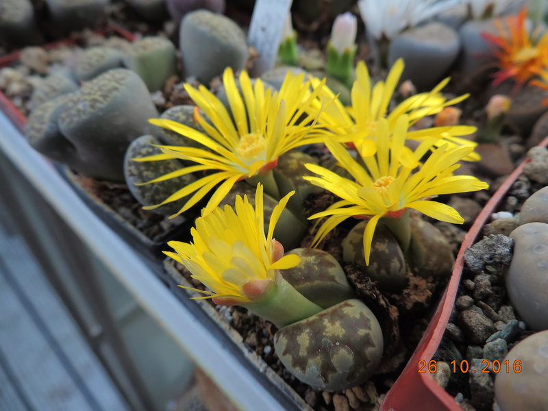 Cacti and Sukkulent in Köln, every day new flowers in the greenhouse Part 152 Bild_426