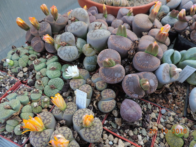 Cacti and Sukkulent in Köln, every day new flowers in the greenhouse Part 152 Bild_428
