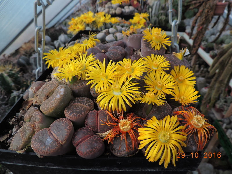 Cacti and Sukkulent in Köln, every day new flowers in the greenhouse Part 152 Bild_444