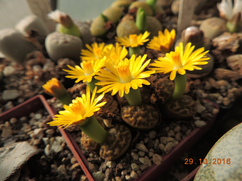 Cacti and Sukkulent in Köln, every day new flowers in the greenhouse Part 152 Bild_446