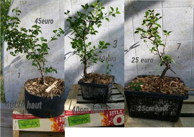 pré bonsai sainte lucie Sans_t10
