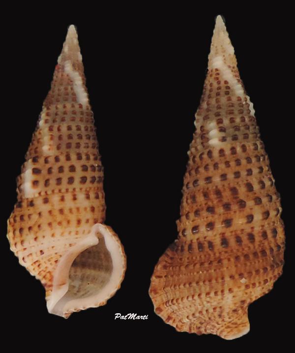 Cerithium traillii - G. B. Sowerby II, 1855 Cerith10