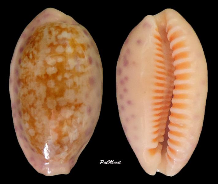 Ovatipsa chinensis - (Gmelin, 1791)  Cyp-ch10