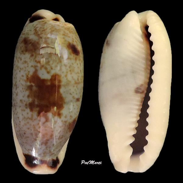 Erronea cylindrica cylindrica - (Born, 1778) Cyp-cy10