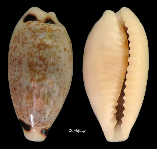 Eclogavena quadrimaculata - (J.E. Gray, 1824) Cyp-qu10