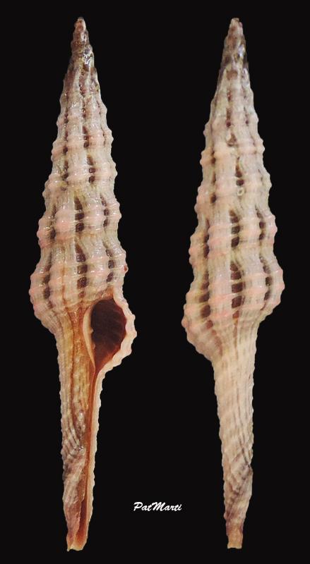 Dolicholatirus lancea - (Gmelin, 1791) Dolich10