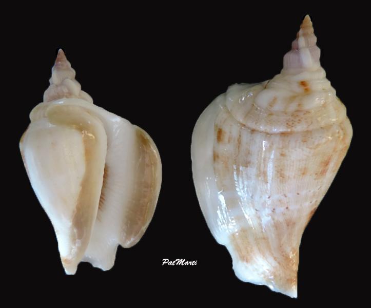 Dolomena dilatata - (Swainson, 1821) Dolome10