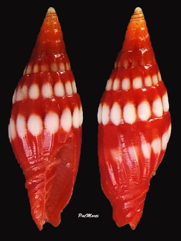 Protoelongata corallina - (Reeve, 1845) Mitra-11