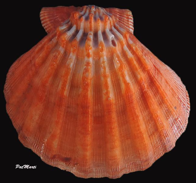 Nodipecten subnodosus - (G. B. Sowerby I, 1835) Nodipe10