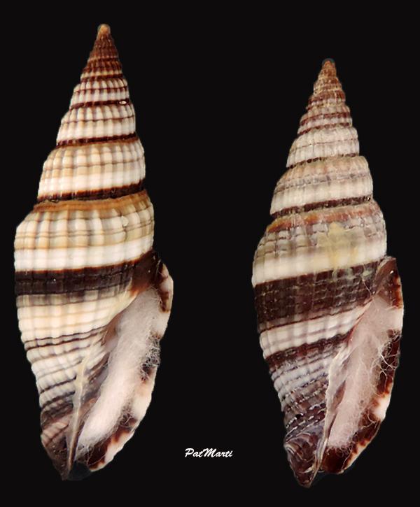 Vexillum rugosum - (Gmelin, 1791) Vexill13