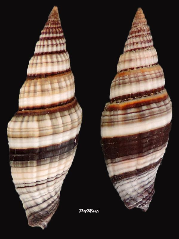 Vexillum rugosum - (Gmelin, 1791) Vexill14