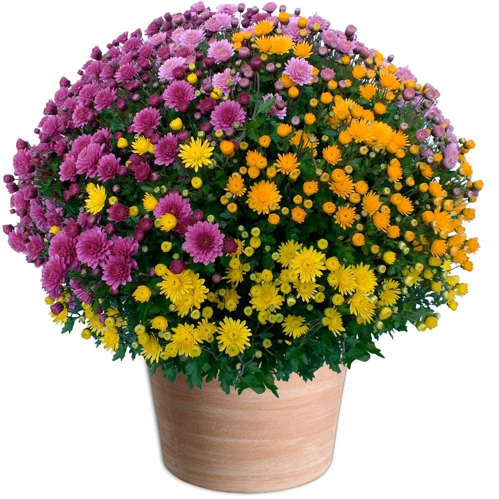 bonjours bonsoir de novembre  Fleurs10