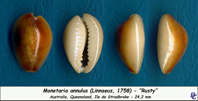 Monetaria annulus f. olgae (Lorenz, 2017) = annulus rusty - Page 3 Annulu10