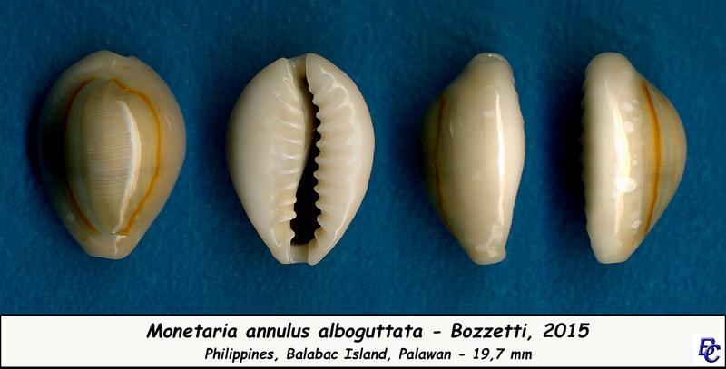 Monetaria annulus alboguttata  -  Bozzetti, 2015  - Page 2 Annulu11