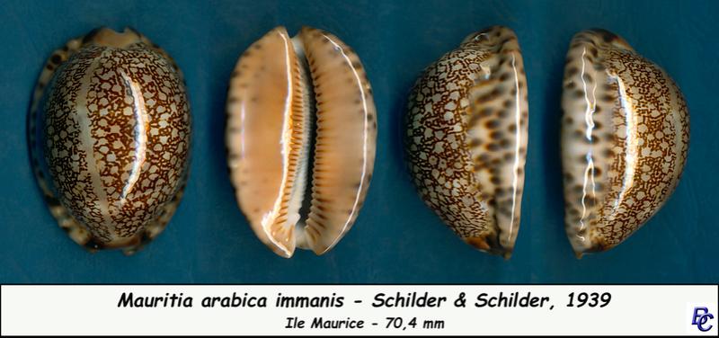 Mauritia arabica immanis - Schilder & Schilder, 1939  - Page 3 Arabic11