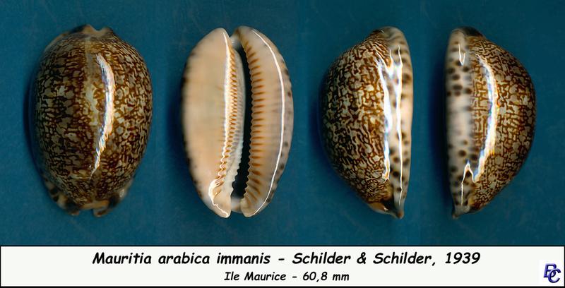 Mauritia arabica immanis - Schilder & Schilder, 1939  - Page 3 Arabic13