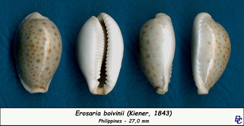 Naria boivinii - (Kiener, 1843) Boivin10