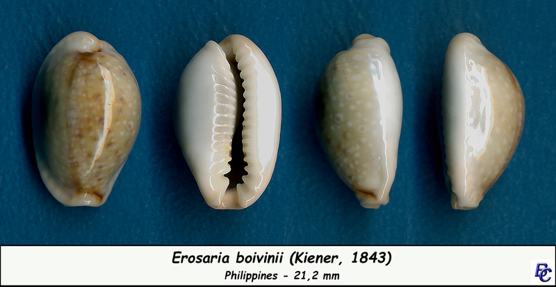 Naria boivinii - (Kiener, 1843) Boivin11