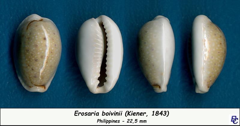 Naria boivinii - (Kiener, 1843) Boivin12