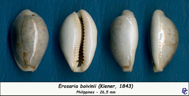 Naria boivinii - (Kiener, 1843) Boivin13