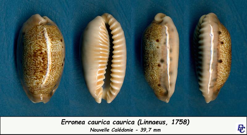 Erronea caurica caurica - (Linnaeus, 1758) Cauric10