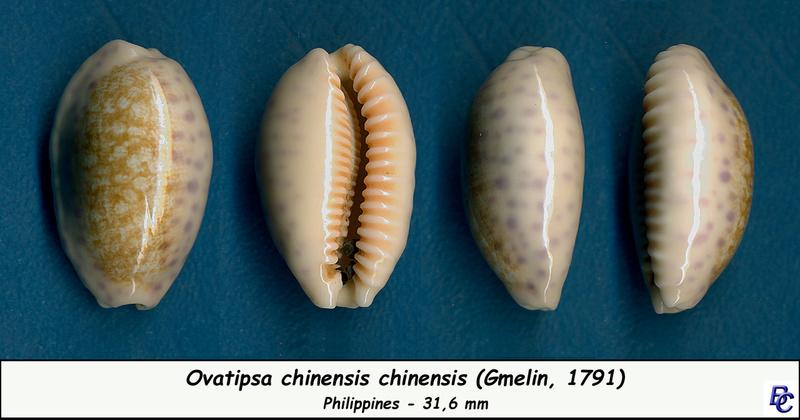Ovatipsa chinensis - (Gmelin, 1791)  Chinen11
